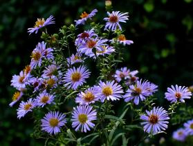Nybelgisk asters