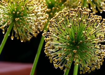 Allium. Foto: Flickr / Liz West