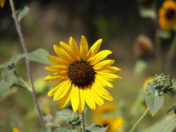 Solsikke, Helianthus. Foto: Flickr.